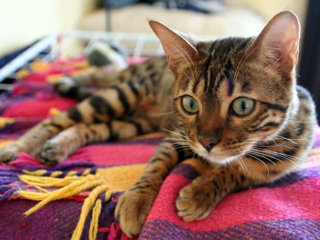 Bengal_Cat_(Fia)