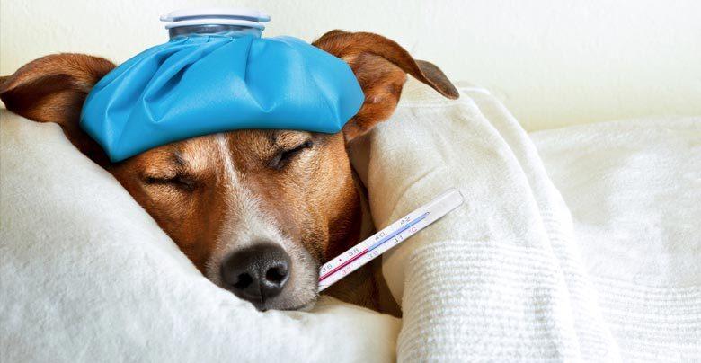 Cachorro com febre