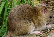 chumbinho-para-ratos