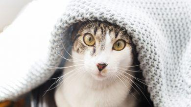 Um gato embaixo de uma coberta